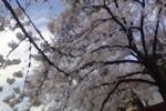 桜ペイント.jpg